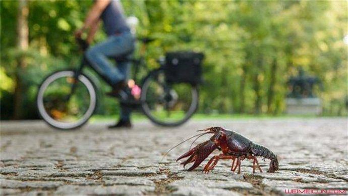 德国小龙虾跑上街